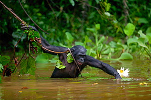 Bonobo (Pan paniscus) foraging in river, Lola Ya Bonobo Sanctuary, Democratic Republic of the Congo.  Non-ex  -  Cyril Ruoso
