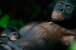 Bonobo (Pan paniscus) mother resting with her newborn baby, Lola Ya Bonobo Sanctuary, Republic of the Congo. Non-ex  -  Cyril Ruoso