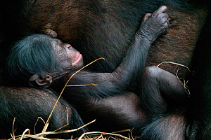 Bonobo (Pan paniscus) newborn baby sleeping next to mother, Lola Ya Bonobo Sanctuary, Republic of the Congo. Non-ex  -  Cyril Ruoso