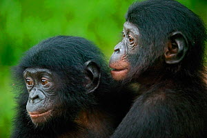 Bonobo (Pan paniscus) orphan babies, Lola Ya Bonobo Sanctuary, Democratic Republic of the Congo. Non-ex  -  Cyril Ruoso
