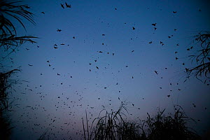 Barn swallows (Hirundo rustica) flock at the roosting site, Ebakken, Nigeria.  -  Cyril Ruoso