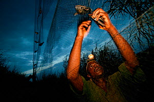 Researcher trapping Barn swallows (Hirundo rustica) in mist net, at Ebakken, Nigeria.  -  Cyril Ruoso