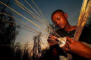 Hunter with limed stick for catching passerine  birds, Ebakken, Nigeria.  -  Cyril Ruoso