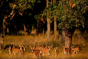 Chital deer (Axis axis) herd, with males in velvet with females  Bandhavgarh National Park, India. - Cyril Ruoso