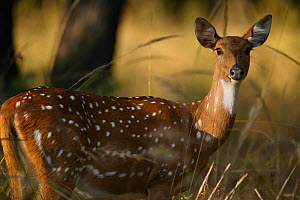 Chital deer (Axis axis) female portrait, Bandhavgarh National Park, India. - Cyril Ruoso