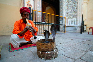 Snake charmer playing flute,  charming  Indian cobra (Naja naja) to come out of basket,  inside the city palace, Jaipur, India.  -  Cyril Ruoso