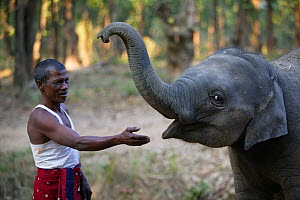 Mahout with Asian elephant (Elephas maximus) calf with bread, India.  -  Cyril Ruoso