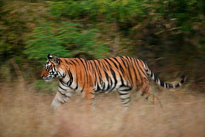 Bengal tiger (Panthera tigris tigris) walking through grassland, Kanha National Park, India. Non-ex - Cyril Ruoso