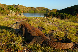 Komodo dragon (Varanus komodoensis) in habitat with boat, Rinca Island, Komodo National Park, Indonesia.  Non-ex - Cyril Ruoso