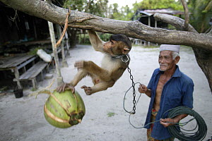 Man training a young Southern pig-tailed macaque (Macaca nemestrina)  to pick coconuts, Malayasia. - Cyril Ruoso