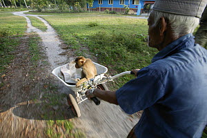 Man transporting his Southern pig-tailed macaque (Macaca nemestrina) trained to pick coconuts, Malayasia. - Cyril Ruoso
