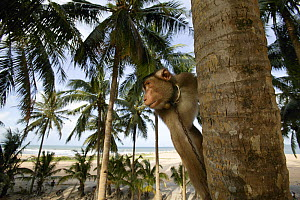 Southern pig-tailed macaque (Macaca nemestrina) trained to pick coconuts, climbing trees, Malaysia. - Cyril Ruoso