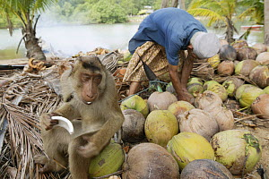 Southern pig-tailed macaque (Macaca nemestrina) trained to pick coconuts, feeding after harvesting coconuts, Malaysia. - Cyril Ruoso