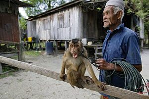 Southern pig-tailed macaque (Macaca nemestrina) trained to pick coconuts, with owner, Malaysia. - Cyril Ruoso