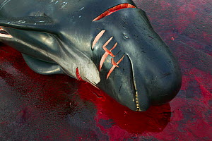 Carcass of Long finned pilot whale (Globicephala melas) hunted for meat, Faroe Islands, August 2003. Non-ex - Cyril Ruoso