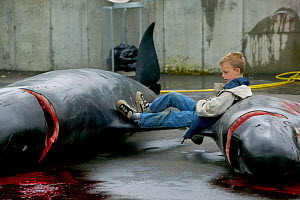 Children playing by carcass of Long finned pilot whale (Globicephala melas) hunted for meat, Faroe Islands, August 2003.  -  Cyril Ruoso