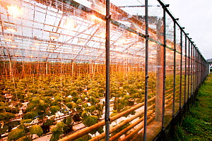 Greenhouse with Cucumber (Cucumis sativus) plants growing, Hveragerd, Iceland. August.  -  Cyril Ruoso