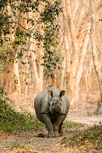 Indian rhinoceros (Rhinoceros unicornis), male, Kaziranga National Park, Assam, India - Denis-Huot