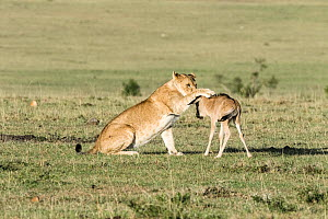 Lioness (Panthera leo) playing with lost baby Wildebeest (Connochaetes taurinus), Masai-Mara Game Reserve, Kenya.  -  Denis-Huot