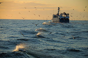 Fishing vessel 'Ocean Harvest' returning home, North Sea, UK, August 2014. Property released.  All non-editorial uses must be cleared individually.  -  Philip  Stephen
