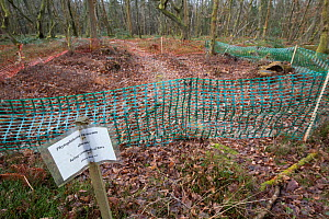 Plant pathogen (Phytophthora ramorum) control measures in woodland. Leith Hill, Surrey. England, UK. June 2015.  -  Adrian Davies