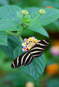Zebra butterfly (Heliconius charithonia) on flower, captive, occurs in the Americas.  -  Adrian Davies