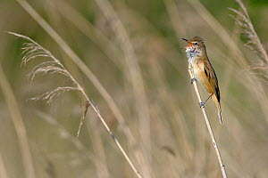 Great reed warbler (Acrocephalus arundinaceus) singing amongst reeds, Remerschen, Luxembourg, May. - Michel  Poinsignon