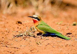 White-fronted bee-eater (Merops bullockoides) on ground, Kruger National Park, South Africa, July. - Ashish & Shanthi Chandola