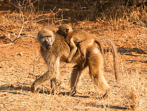 Chacma Baboon (Papio cynocephalus) carrying baby on back, Kruger National Park, South Africa, July.  -  Ashish & Shanthi Chandola