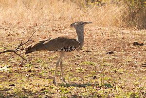 Kori bustard (Ardeotis kori) Kruger National Park, South Africa, July.  -  Ashish & Shanthi Chandola