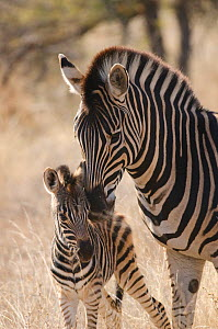Plains zebra (Equus quagga) grooming foal, Kruger National Park, South Africa, July.  -  Ashish & Shanthi Chandola