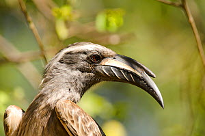 African grey hornbill (Tockus nasutus) male close up portrait, Kruger National Park, South Africa, July.  -  Ashish & Shanthi Chandola