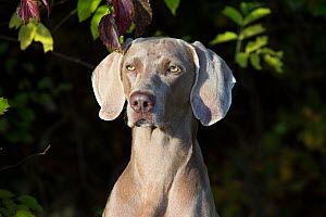 Weimaraner by edge of woodland, Colchester, Connecticut, USA. Non-ex.  -  Lynn M Stone