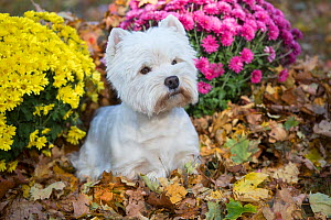 West Highland Terrier in autumn by yellow and pink flowers. Veron, Connecticut, USA. Non-ex. - Lynn M Stone