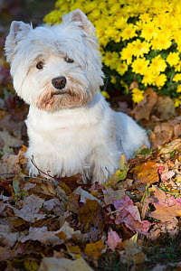 West Highland terrier in autumn by yellow flowers. Veron, Connecticut, USA. Non-ex. - Lynn M Stone