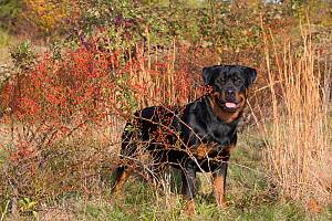 Rottweiler in autumnal vegetation with  berries, Madison, Connecticut, USA.  -  Lynn M Stone