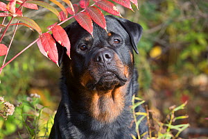 Rottweiler by Sumac leaves in autumn, Madison, Connecticut, USA.  -  Lynn M Stone