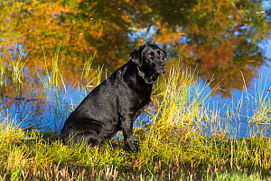 Black labrador retriever by pond, Colchester, Connecticut, USA. Non-ex. - Lynn M Stone