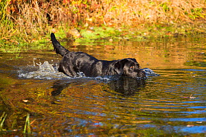 Black labrador retriever in pond in autumn, Colchester, Connecticut, USA. - Lynn M Stone