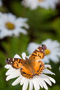 Painted lady butterfly (Vanessa cardui) on Montauk Daisy, Madison, Connecticut, USA.  -  Lynn M Stone