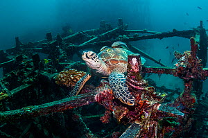 Green turtle (Chelonia mydas) at rest on artificial reef.  Mabul, Malaysia.  -  Georgette Douwma