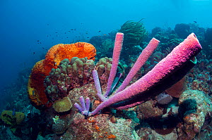 Stove-pipe sponge (Aplysina archeri) and Orange elephant ear sponge (Agelas clathrodes)  Bonaire, Netherlands Antilles, Caribbean, Atlantic Ocean.  -  Georgette Douwma