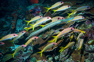Yellow goatfish (Mulloidichthys martinicus) hunting over coral reef, with a  Trumpetfish (Aulostomus maculatus) joining in.  Bonaire, Netherlands Antilles, Caribbean, Atlantic Ocean.  -  Georgette Douwma