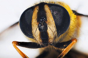 Drone Fly (Eristalis tenax), close up of compound eyes.  UK. - Georgette Douwma