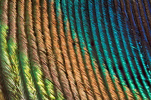 Close up of a Peacock  (Pavo cristatus) feather barbs.  -  Georgette Douwma