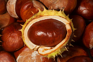 Horse chestnuts (Aesculus hippocastanum) conkers, UK.  -  Georgette Douwma