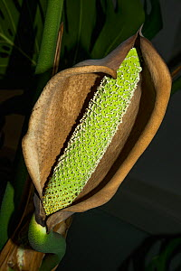 Cheese plant or Mexican bread plant.  (Monstera deliciosa) flower with developing fruit. - Georgette Douwma