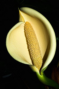Cheese plant or Mexican bread plant (Monstera deliciosa) flowers. - Georgette Douwma
