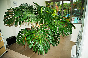 Cheese plant or Mexican bread plant.  (Monstera deliciosa)  in house. - Georgette Douwma