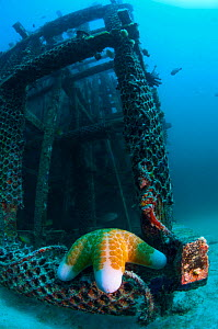 Granulated sea star (Choriaster granulatus) on artificial reef.  Mabul, Malaysia. - Georgette Douwma